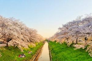 佐保川のさくら並木の画像